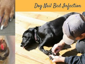 dog nail bed infection