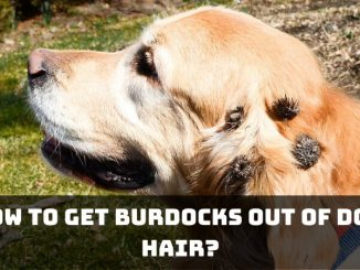 How to Get Burdocks Out of Dog Hair_