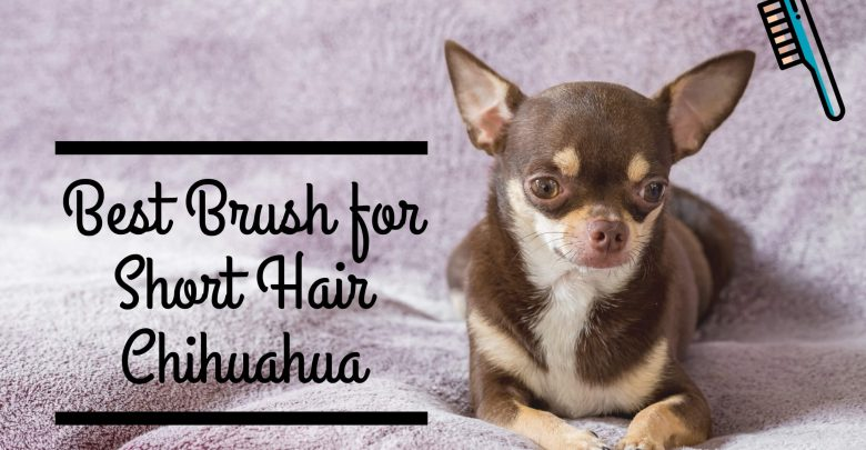 Best brush for short hair chihuahua